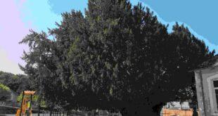 Photographie de l'arbre millénaire de Vigeois